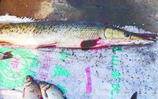黄岛捞出罕见怪鱼