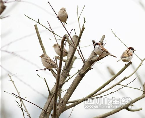 国家一级保护野生动物猎隼(falcocherrug)春秋迁徙