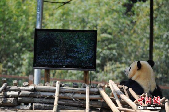 云南野生动物园为情绪低落的大熊猫装电视