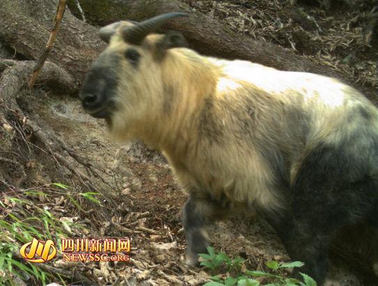 王朗自然保护区拍摄到的牛羚