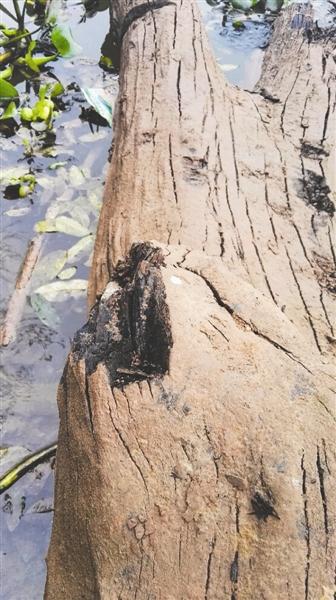 遂宁发现两根近万年乌木 躺河边半月没人动