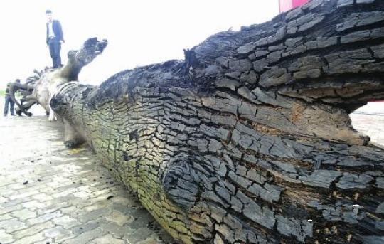 四川发现巨型乌木 长十余米总重15吨