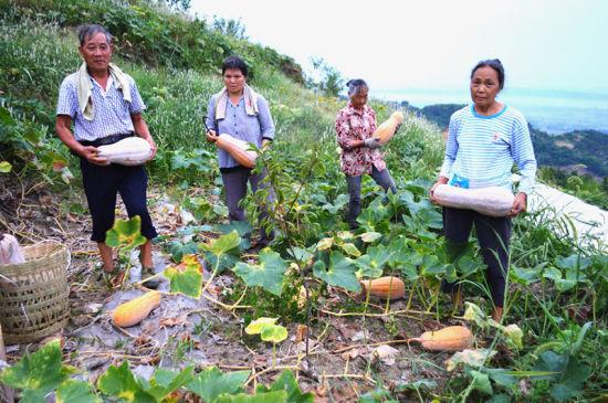 丰禾镇林果村村民正在忙着收获丰收的蜜本南瓜