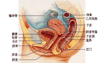 腹部脏器位置示意图