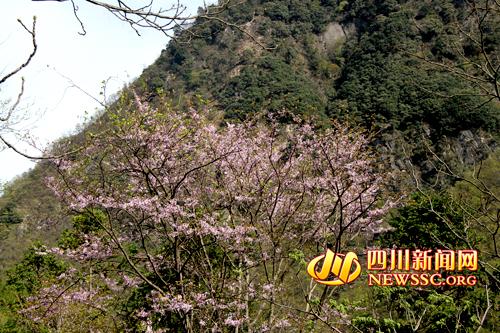 青川县唐家河自然保护区发现目前全国最大的野生紫荆