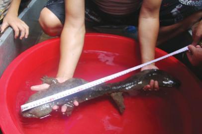 为娃娃鱼测量身长。