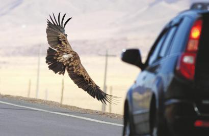 2011年4月13日,国道213线,一只高山兀鹫从一辆汽车前飞过。(志愿者沈尤供图)