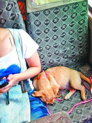 从北碚后峰岩开往北碚城区的公共汽车上,小狗占了一个座位