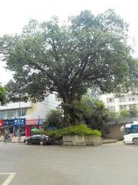 自贡市贡井区的一棵百年古树