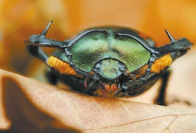 钟茗拍摄的阳彩臂金龟。