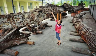 7月25日,彭州通济镇,吴高亮认为乌木有一定程度的损毁。(资料图片)
