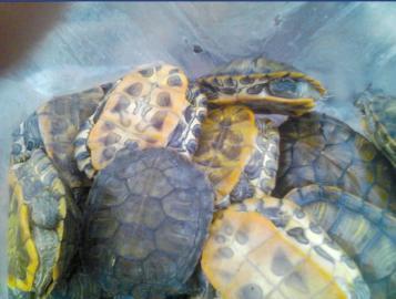市民捡来的乌龟。