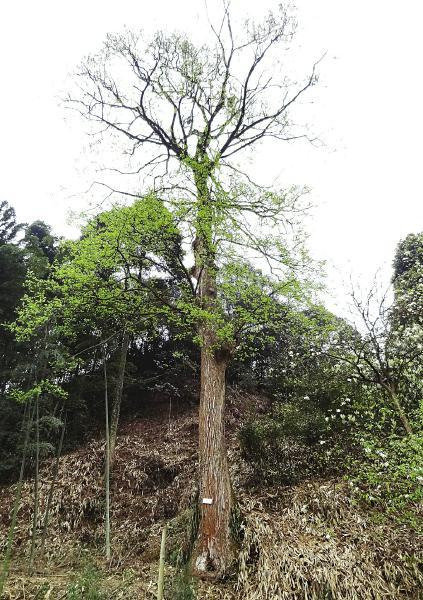古树全貌。