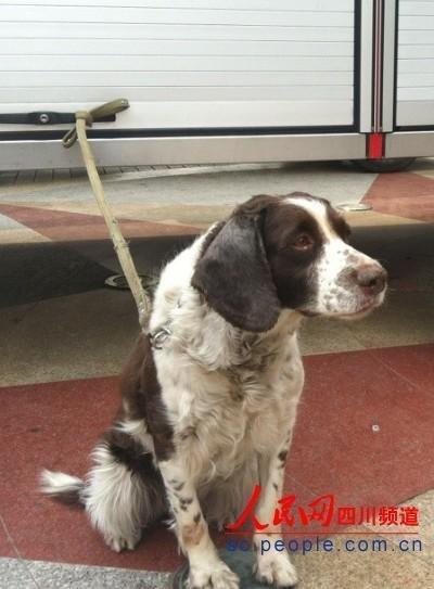 曾参加过汶川地震抢险救援的搜救犬前来助阵。(记者 熊文瑶摄)
