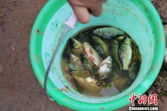 上浮或死亡鱼类主要为鲫鱼和鲤鱼 周亚强 摄