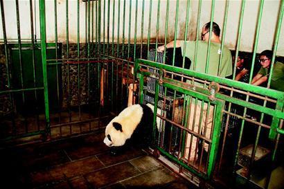 海归大熊猫