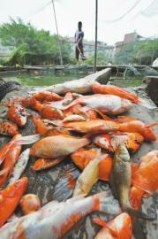 观赏鱼死因成谜。
