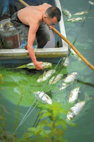7月19日,簇桥乡三河村,胥德强正在打捞死鱼