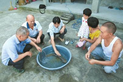 渔政工作人员查看被捕捞起来的娃娃鱼。