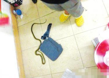 出现在川大江安校区学生宿舍的蛇。 (网友供图)