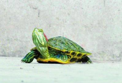 仅有3条腿的乌龟。