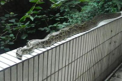 横在栏杆上的蟒蛇。