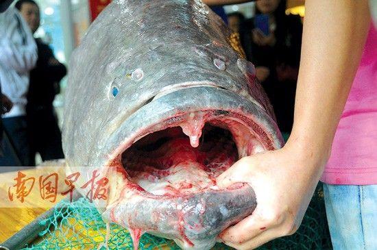 近日,北海渔民在北部湾海域捕获的105公斤的龙趸。