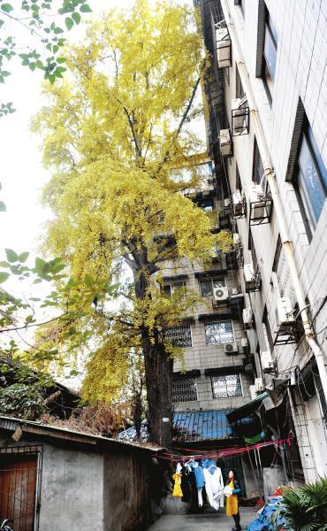 千年银杏枝丫长到6楼窗户前。