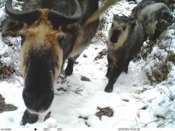 龙溪-虹口国家自然保护区首次拍到羚牛视频。(截图)
