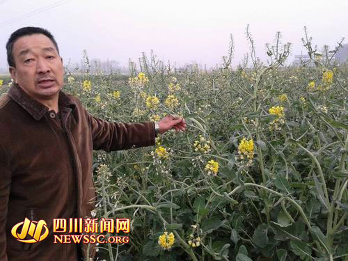 油菜为何开白花,村民也不知道确切原因