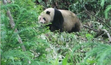 壁纸 大熊猫 动物 449_262