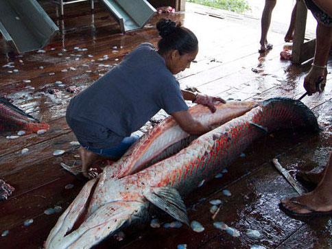 村民捕杀巨滑舌鱼